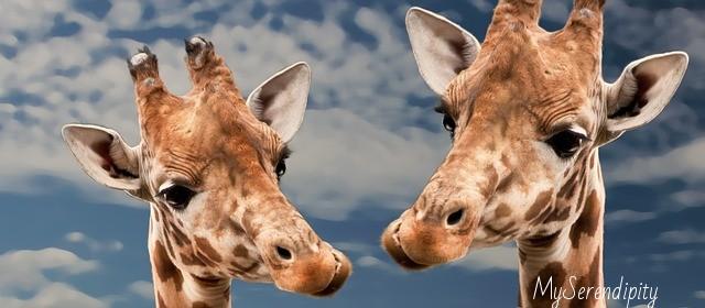 giraffe_ris